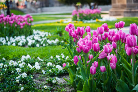 Many pink tulips in the park in Kosice during spring. Spring blossom Stock Photo