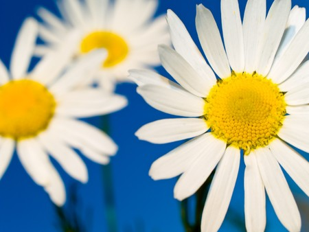 Chamomile flower on a blue sky