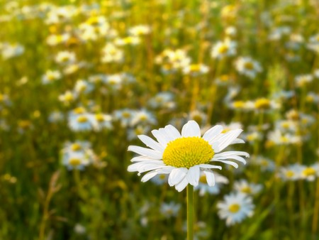 Chamomile flower on a meadow Stock Photo