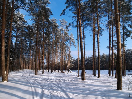 Winter forest on sunny day