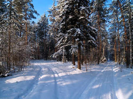 Winter forest with tracks on the snow