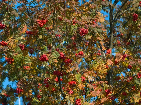 Autumn rowan tree with berries