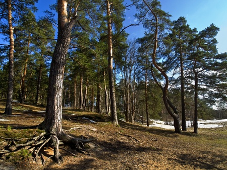 Spring forest on sunny day with blue sky Stock Photo