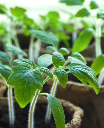 Young tomato sprouts Stock Photo - 9445870