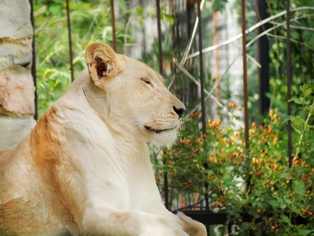 Lioness in the zoo Editorial