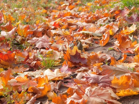 Fallen maple leaves laying on the ground closeup