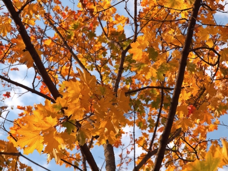 Colorful maple leaves on the tree Stock Photo