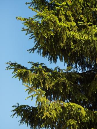 Fir-tree on blue sky background