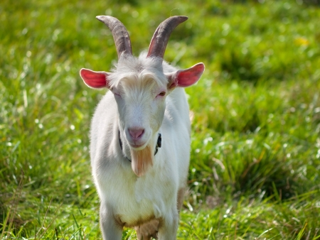 Young goat on green grass background on bright sunny day