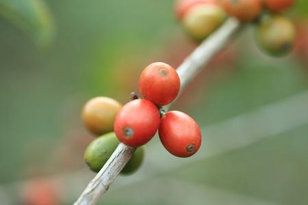 arbol de cafe: �rbol de caf� con las habas maduras