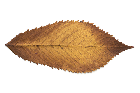 Brown dried leaf closeup.