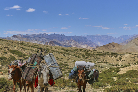 Horses and mules carrying heavy goods in Himalaya mountains, Markha Valley, Ladakh, India.