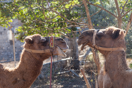 kayakoy: Camels in the ghost town of Kayakoy, Turkey