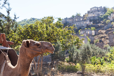 kayakoy: Camel in the ghost town of Kayakoy, Turkey