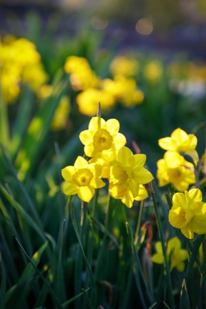 Field of blooming yellow daffodils in park. Nature background. Evening light