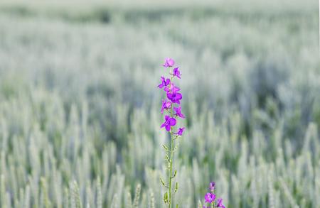 Wild violet flower on a green field
