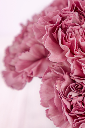 Pink carnation flowers on a gray background. Free space