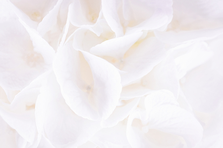 White floral background. White hydrangea or hortensia flowers. Close-up, copy space for text Stock Photo