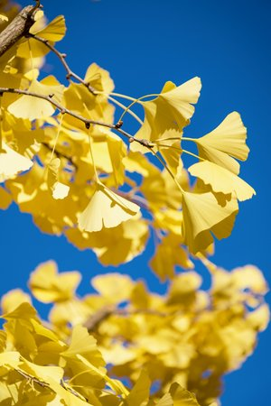 Ginkgo Biloba autumn leaves on the blue sky background