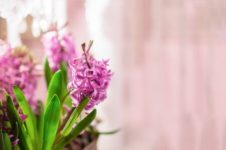 Beautiful pink hyacinth flowers on a pale pink background. Copy space