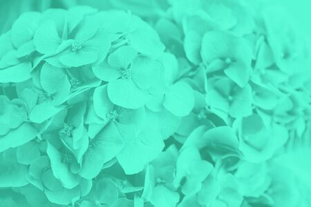 Green mint hydrangea or hortensia flowers, soft and blurred background 版權商用圖片