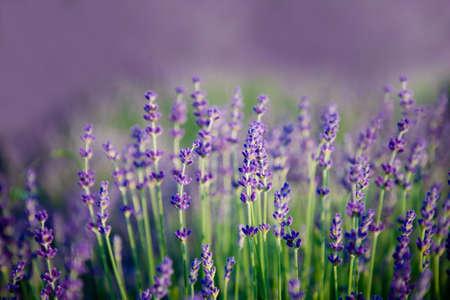 Lavender flowers on blurred nature background. Violet lavender field Imagens