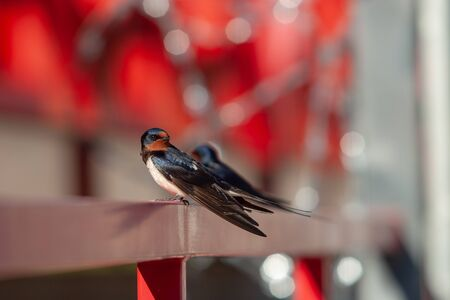 The swallow sitting on the railing looks around and looks at the camera. Selective focus on the bird. Beautiful red background with highlights and blurry.