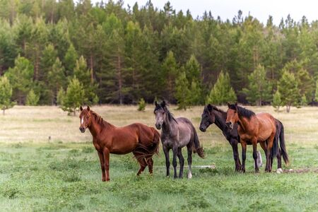 Four horses on a green meadow against the background of a blurred forest. Brown and dark with long manes and tails. It looks like an oil painting. Stock fotó