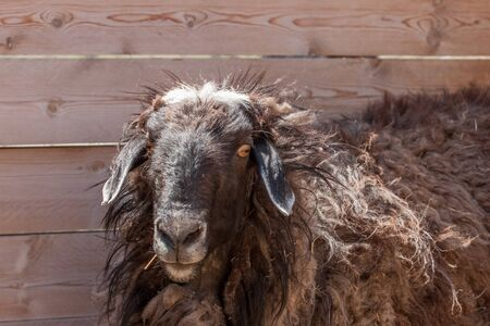 Brown curly sheep at the fence. Curly long hair. White crest. Lop-eared. Big eyes. Reklamní fotografie