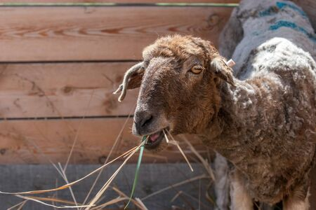 Sheared sheep have hay by the fence. Lop-eared. On the ear tag clip. Big eyes. Copy space. Reklamní fotografie