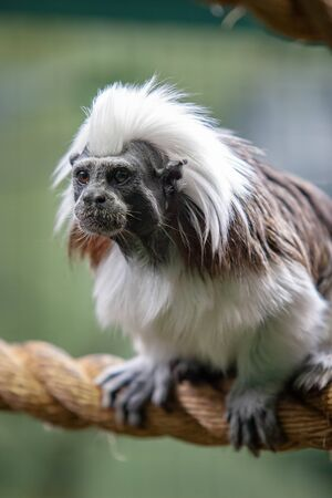 Funny monkey tamarin sits on a thick rope. The coat is white and black. Eyes are open, mouth is closed. Selective focus on the face. Vertical. Reklamní fotografie