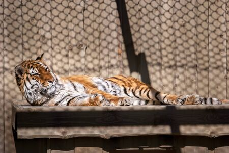Tiger lies resting on a wooden shelf. Dangerous cat in a cage. The Amur tiger is brown with white and black stripes.