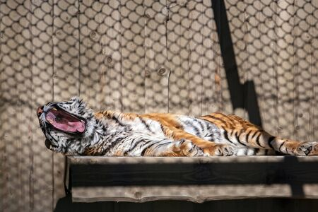 A fluffy adult tiger with a huge mouth is yawning. The Amur tiger is brown with white and black stripes. The shadow of the cell grid is visible. Reklamní fotografie