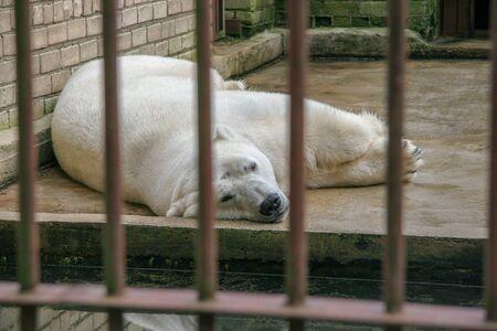 The polar bear lies in the aviary behind bars on the concrete floor. Sad animal in captivity.