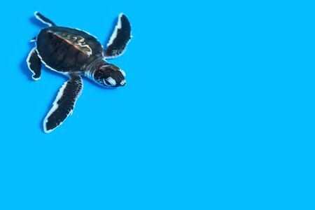 Small purposeful turtle in water on a gentle blue background with copy space. Protection of the population. Young turtles under the supervision of the rangers. Selective focus on the head.