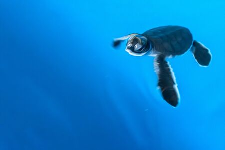 A little newborn turtle is swimming in blue water. Stylization as an oil painting. Copy space. Stock Photo