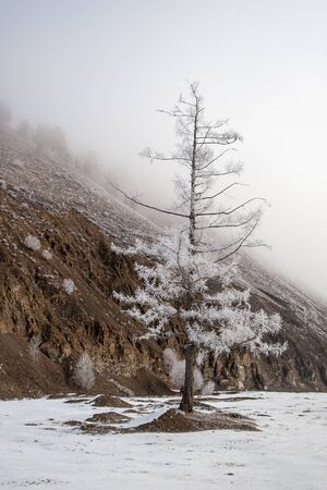 Lonely winter tree in hoarfrost standing near a mountain in dense fog. Snow on the ground. Brown and white colors. 写真素材