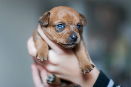 A very small toy terrier puppy in the arms of a child. Brown coat. Eyes open. Paws with claws hanging. Selective shallow focus. Blurred background.