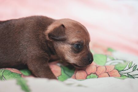 A small puppy of a toy terrier is walking along the fabric. Brown coat. Eyes open.