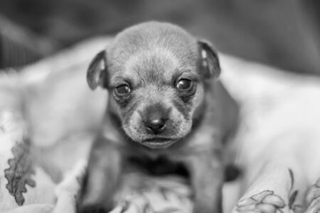 Black and white photo of a sad little puppy of a toy terrier with sad eyes. Looks directly at the camera. Selective shallow focus.