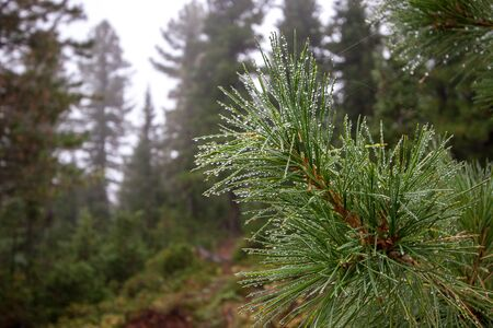 Coniferous tree branch with raindrops. Beautiful spruce branch in a mountain forest. Reklamní fotografie