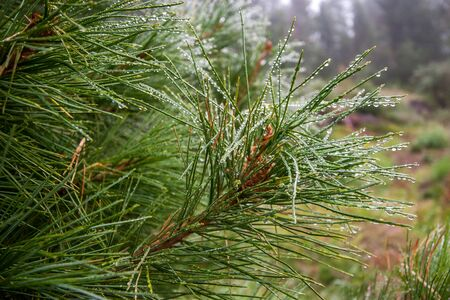 A branch of spruce with large drops of rain. Beautiful coniferous tree branch in a mountain forest. Close-up shot. Reklamní fotografie