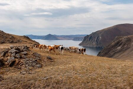 High rocky shore of Lake Baikal with grazing cows. A large herd. Steppe grass on the ground. Clouds in the sky. Brown tones. Horizontal. Reklamní fotografie