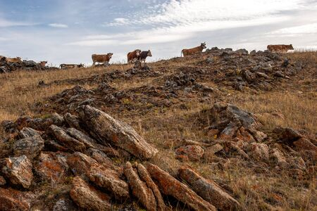 Hillside with large stones and cows running on top of the hill against the sky. Red moss on the stones. Clouds in the sky. Brown tones. Horizontal. Reklamní fotografie