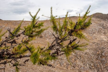 Pine branch with cones. Dwarf conifer with green needles. Blurry rocks on background and sky with clouds.