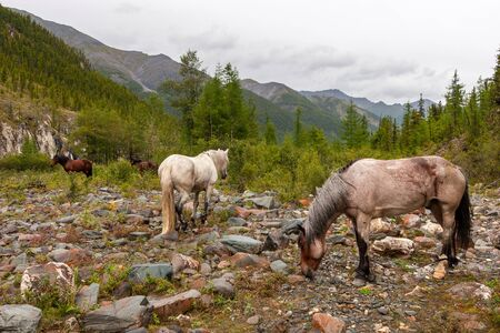 Several horses walk on stones in the mountains. Horses with tied legs. Brown and white color. Forest around and mountain ranges in the distance against a cloudy sky. Horizontal.
