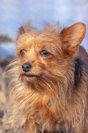 Close portrait of the very shaggy Yorkshire Terrier. Long disheveled brown dog hair and large ears. Looking away. Blurred background. Vertical. Фото со стока