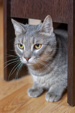 A beautiful gray cat is sitting quietly under a chair on the parquet floor. Yellow eyes and a long mustache. Shallow depth of field. Vertical. Standard-Bild