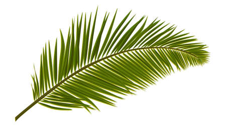 Green realistic palm leaves isolated on white. Palm branch for composing a collage. Vector illustration.