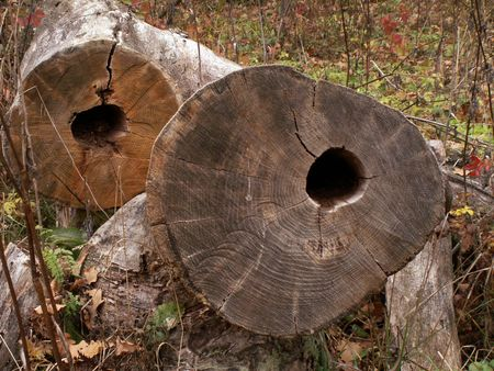 hollows: Two logs with hollows on forest background